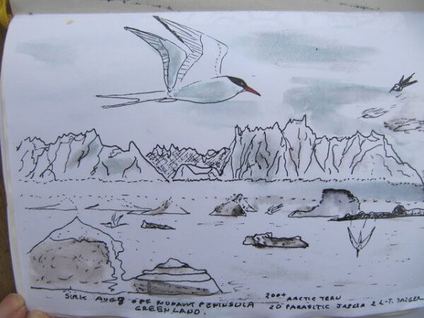 Arctic Terns like this successfully nested off Cortes (Little Rock aka Long Tom) for four seasons, 1000 km south of normal nesting area! – Courtesy George Sirk