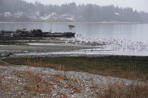Cortes Island Christmas Bird Count