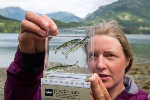 Smolt sampling – Tavish Campbell photo