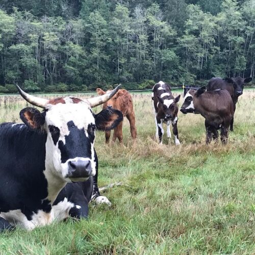 How Linnaea's cows are adapting to the heat