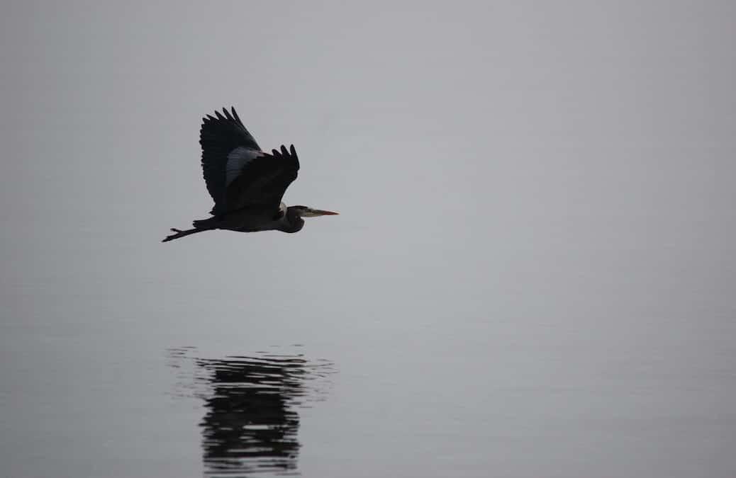 Heron Day on Cortes Island
